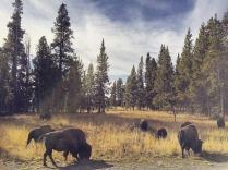 buffalo herd by the road